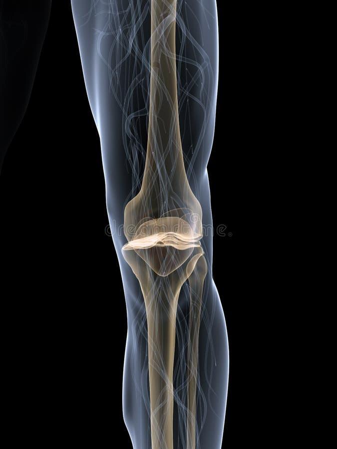 колено скелетное иллюстрация штока