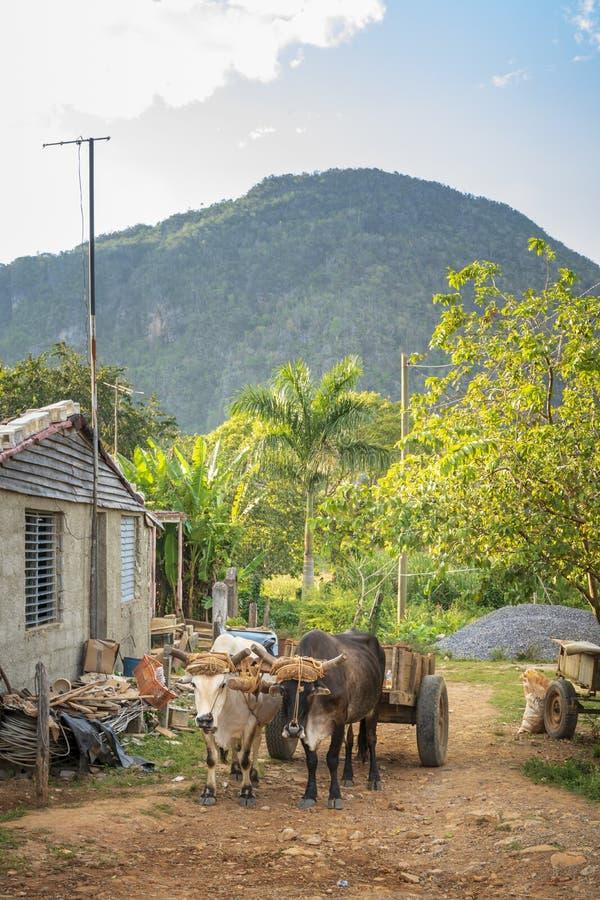 Колесница Bull, ЮНЕСКО, Vinales, провинция Pinar del Rio, Куба, Вест-Индии, Вест-Инди, Центральная Америка стоковые фотографии rf