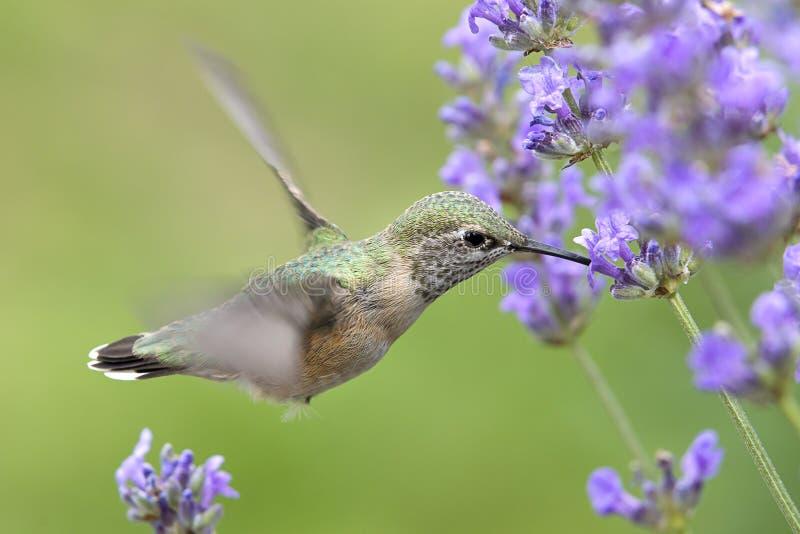 Колибри выпивая lavendar нектар стоковое изображение