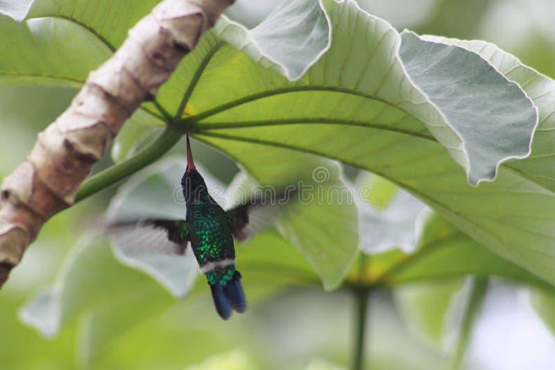 Колибри в летании движения стоковая фотография rf