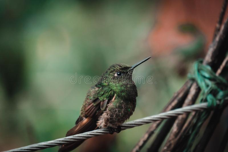 Колибри в тропическом тропическом лесе в Колумбии стоковое изображение