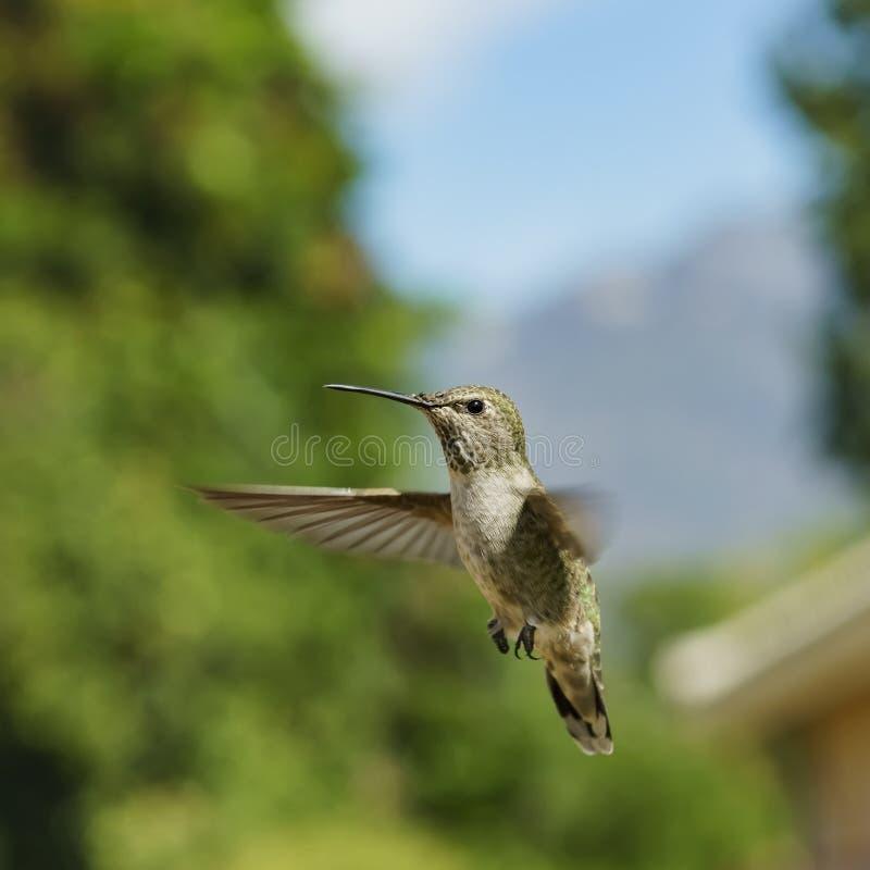 Колибри женского Анны завишет в воздухе стоковая фотография rf