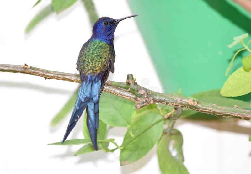 Колибри замкнутый ласточкой на ветви стоковое изображение