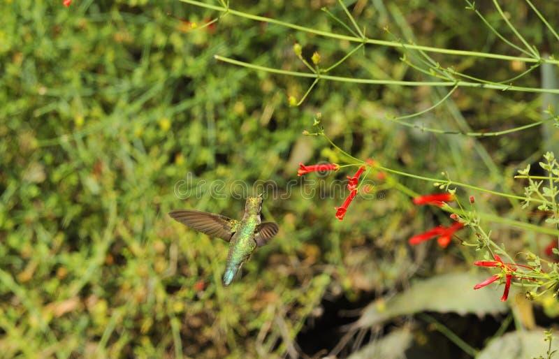 Колибри причаливая красному цветку стоковая фотография