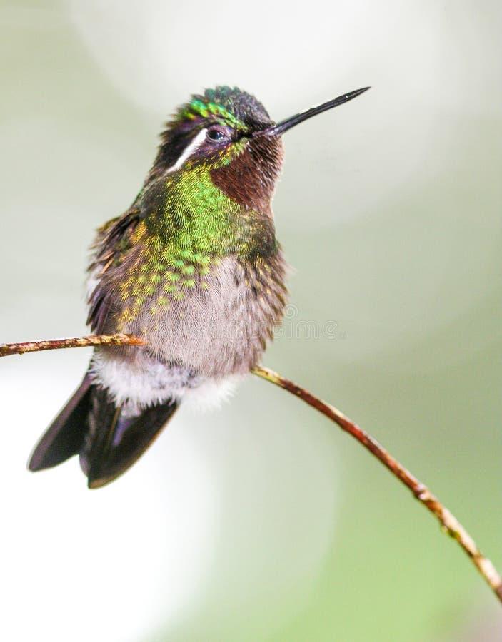 Колибри прованского зеленого цвета садился на насест на тонкой ветви стоковые изображения rf