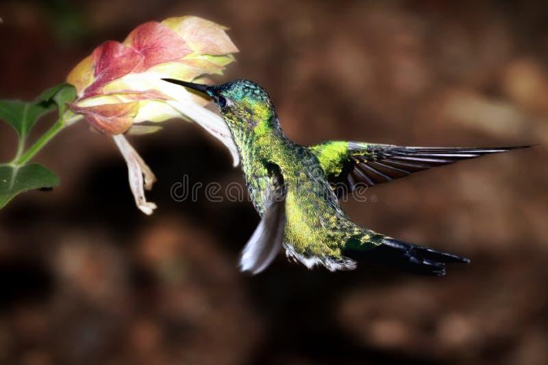 Колибри собирая нектар стоковые фотографии rf