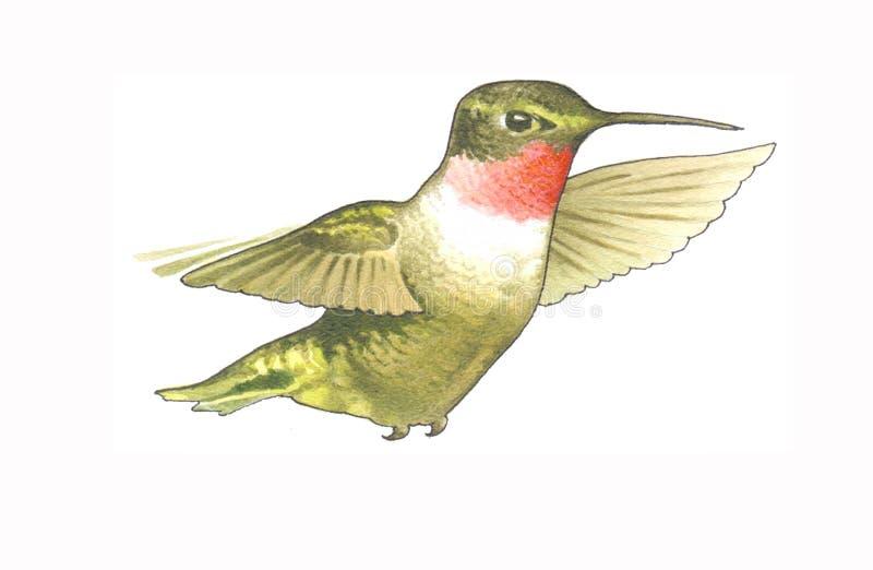 Колибри иллюстрация штока