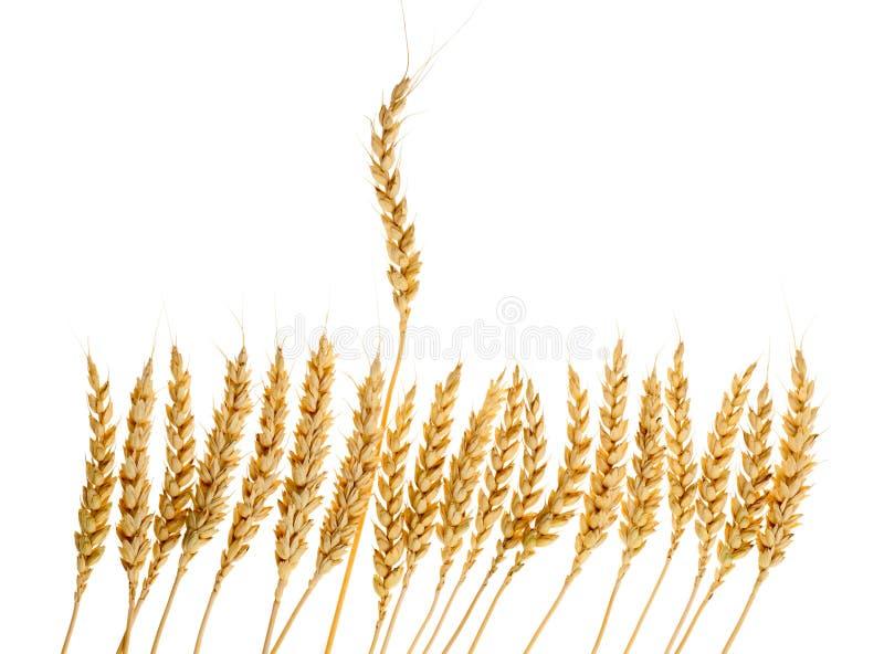 Количество ушей пшеницы стоковая фотография
