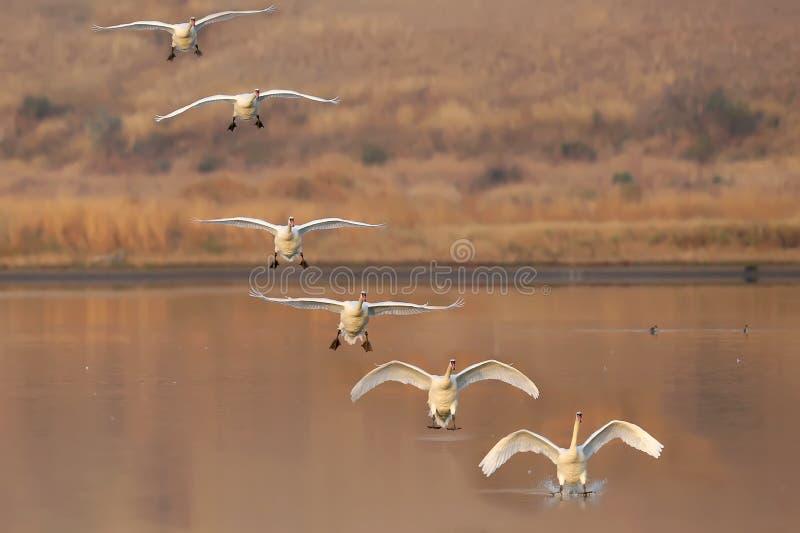 Коллаж нескольких рамок посадки лебедя стоковые изображения