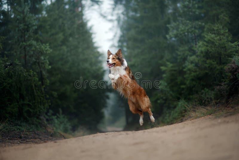 Коллиа границы собаки скачет стоковая фотография