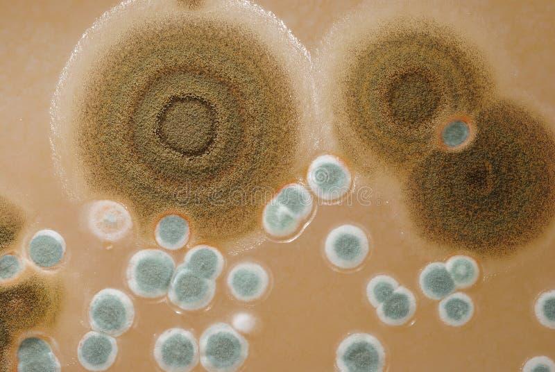 колонии агара макрос отливают плиты в форму стоковая фотография