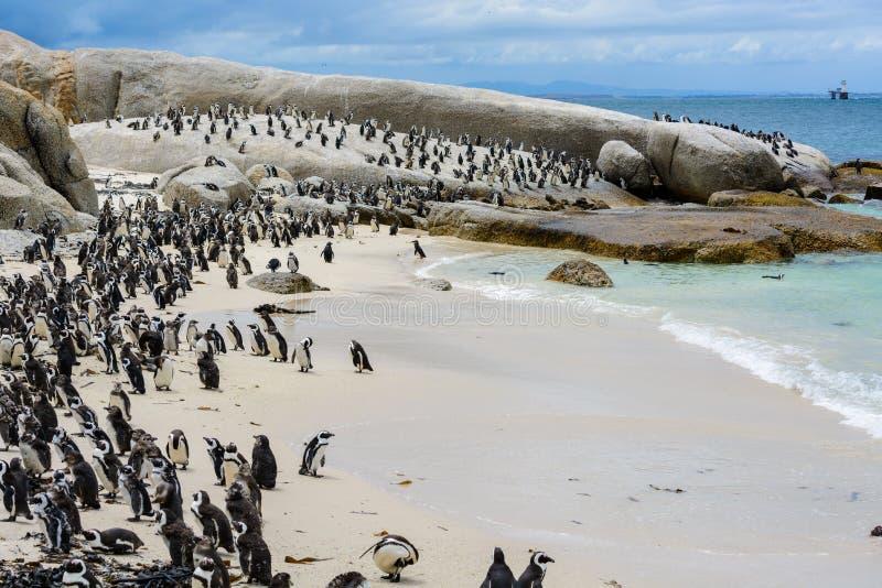 Колония пингвина на пляже валунов, Южной Африке стоковая фотография rf