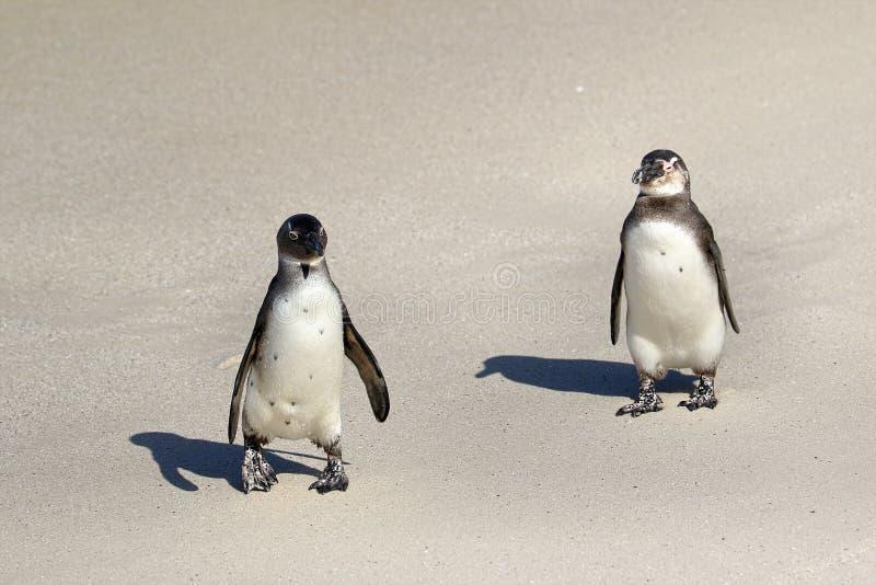 Колония пингвинов на валунах приставает к берегу, городок ` s Simon около Кейптауна, Южной Африки стоковое изображение