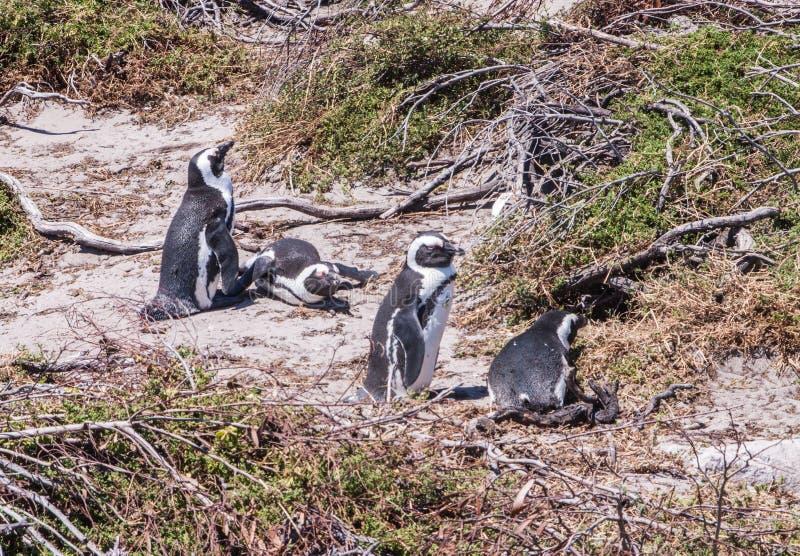 Колония пингвинов на пляже Больдэра около городка Simons стоковое фото rf