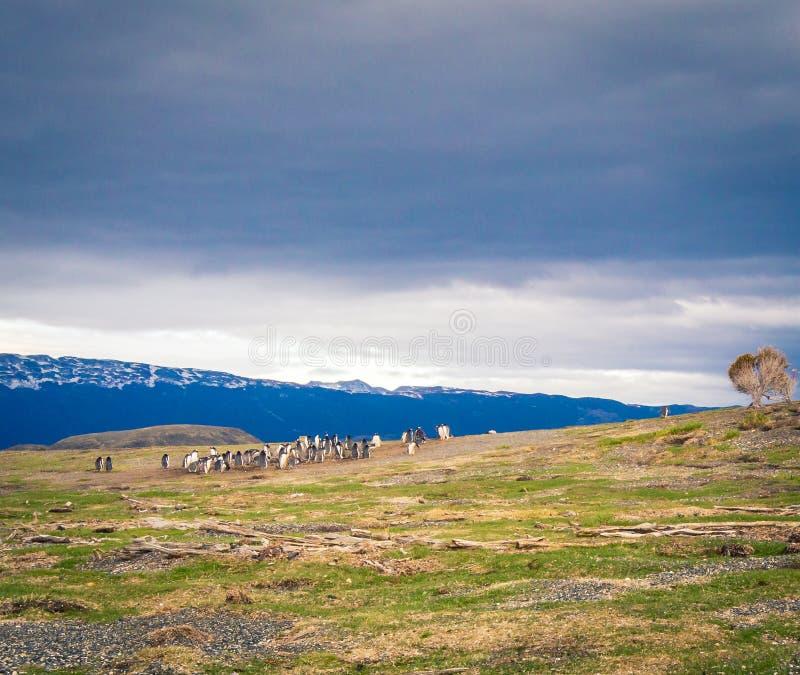 Колония пингвинов стоковое изображение rf