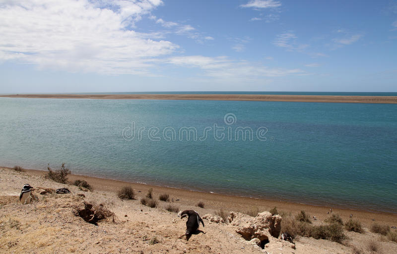 Колония пингвинов Magellanic на Patagonian свободном полете. стоковые фото