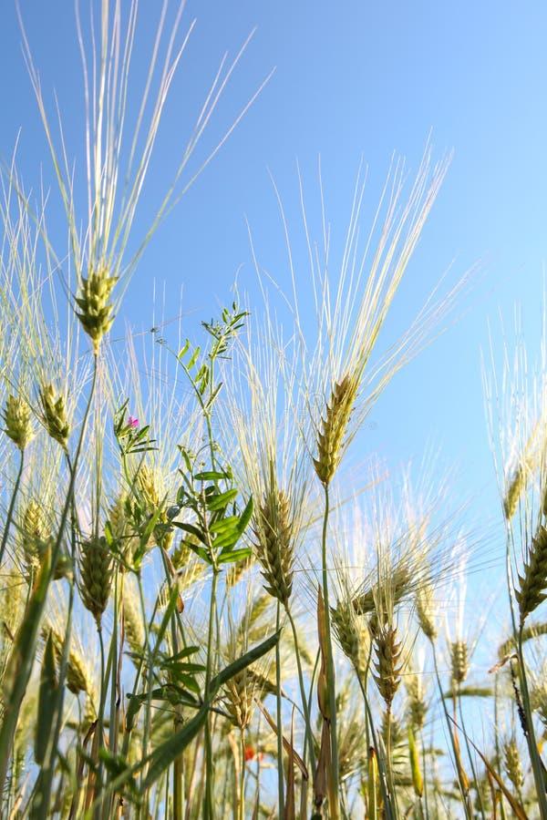 Колоски пшеницы против голубого неба стоковые фотографии rf