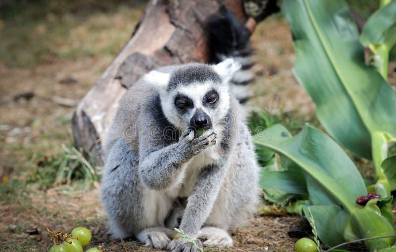 Кольц-замкнутый Lemur стоковые изображения