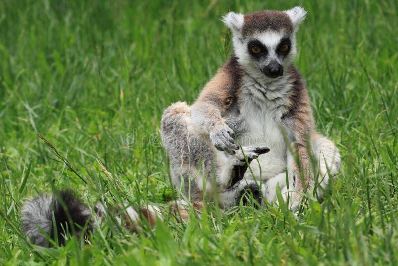 Кольц-замкнутый lemur стоковые фотографии rf