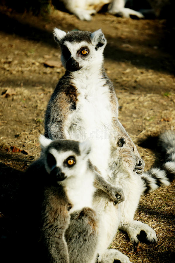 Кольц-замкнутый lemur (catta Lemur) стоковые фотографии rf