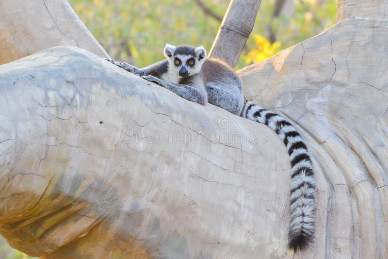 Кольц-замкнутый lemur (catta Lemur) стоковое фото