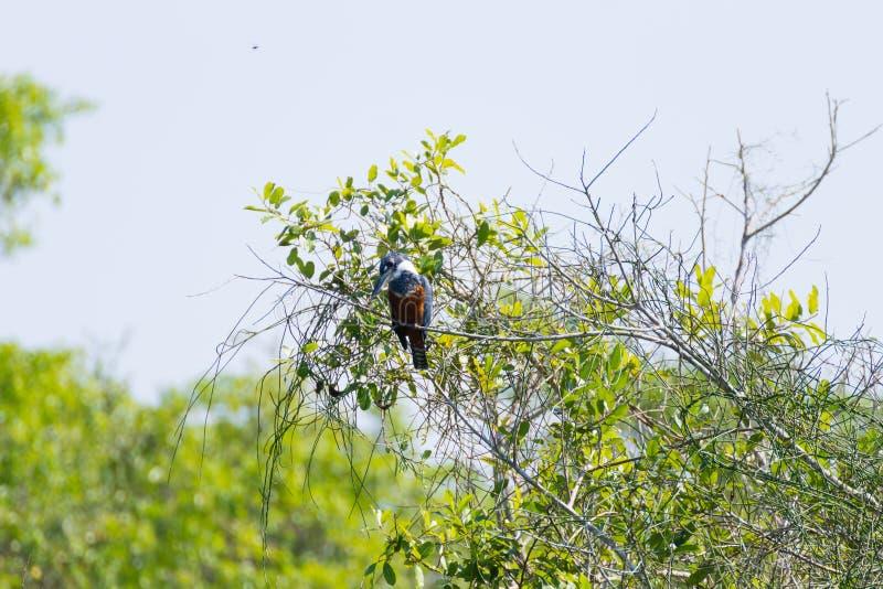 Кольчатый рыцарь на природе в Пантанале, Бразилия стоковые фотографии rf