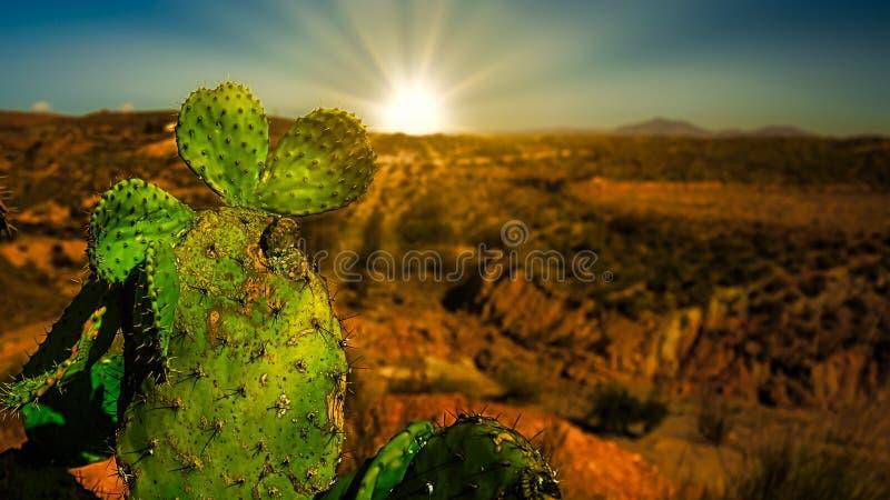 Колючая груша на восходе солнца стоковые фото
