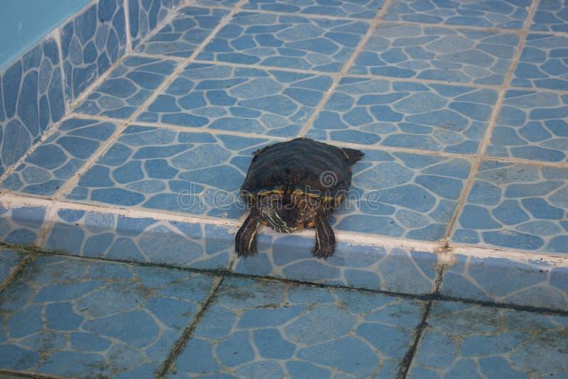 Колючая черепаха Softshell & x28; Spinifera& x29 Apalone; загорать на поле стоковые фото