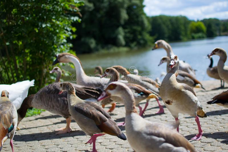 Команда, группа или сплоток уток идя на асфальт парка, с бассейном на предпосылке wildlife стоковое фото rf
