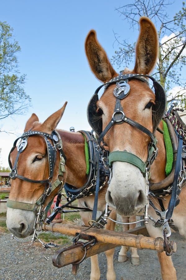 команда осляка лошади стоковое фото rf