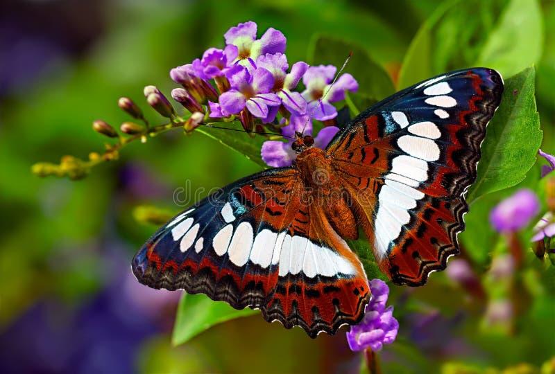 Командир бабочки или procris Moduza на ягоде голубя цветка стоковое изображение