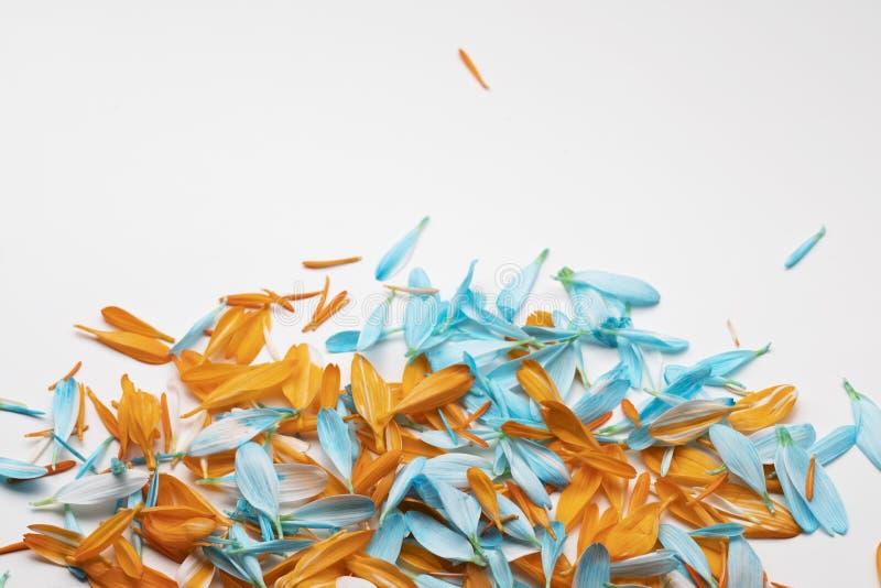 Комбинация лепестков хризантемы красочная стоковые фото