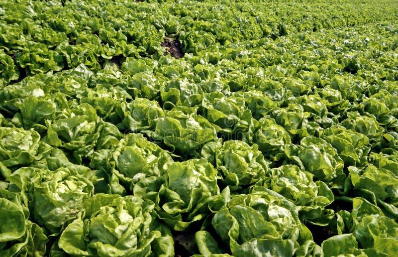 Рядки салата Bibb стоковое фото rf