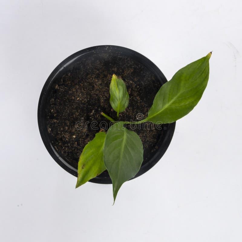 Комнатное растение во взгляде сверху бака стоковое изображение