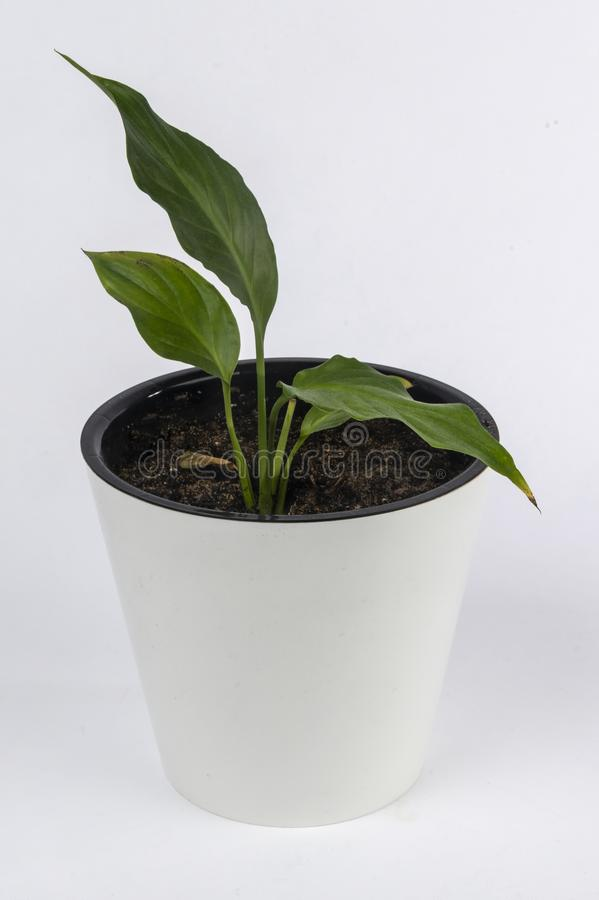 Комнатное растение в белом баке стоковые изображения rf