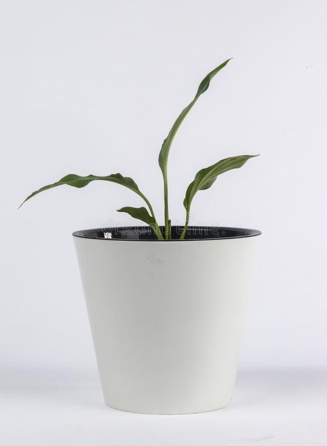 Комнатное растение в белом баке стоковые изображения