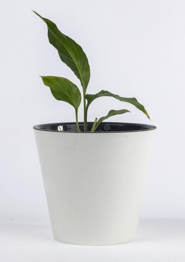 Комнатное растение в белом баке стоковая фотография rf