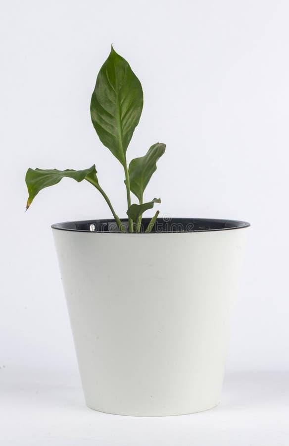 Комнатное растение в белом баке стоковая фотография
