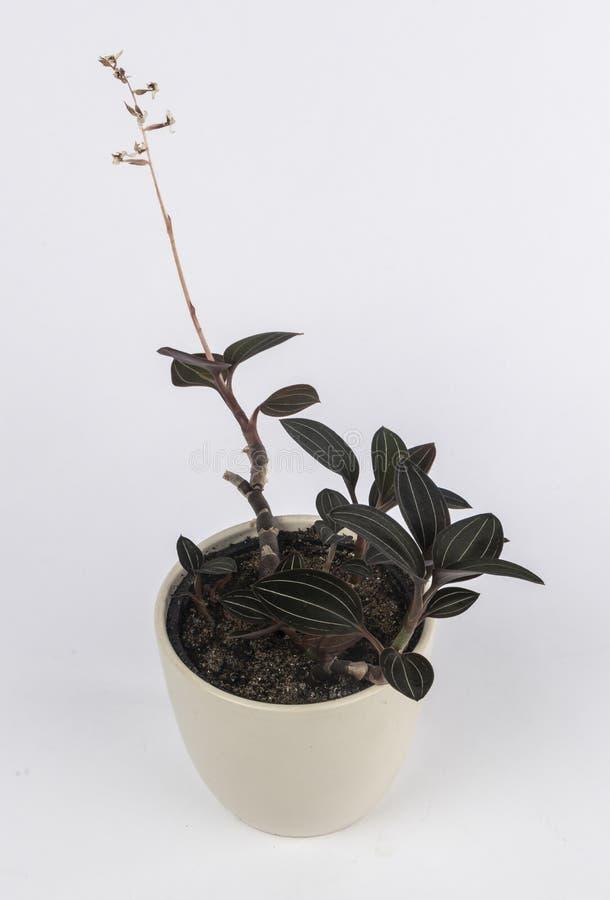Комнатное растение в белом взгляде перспективы бака стоковые изображения