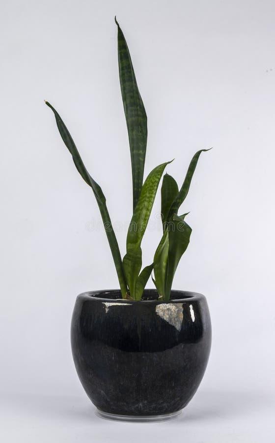 Комнатное растение в черном баке стоковое изображение rf