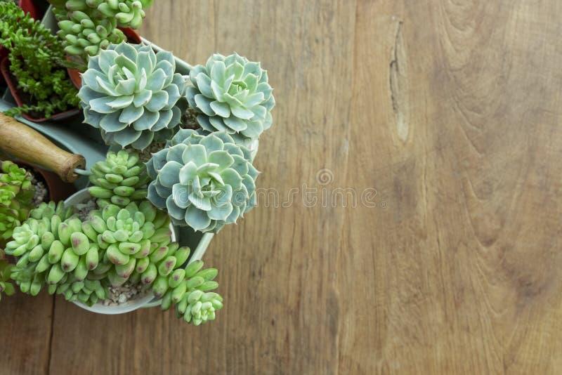 Комнатное растение суккулентных цветковых растений Echeveria крытое стоковая фотография rf