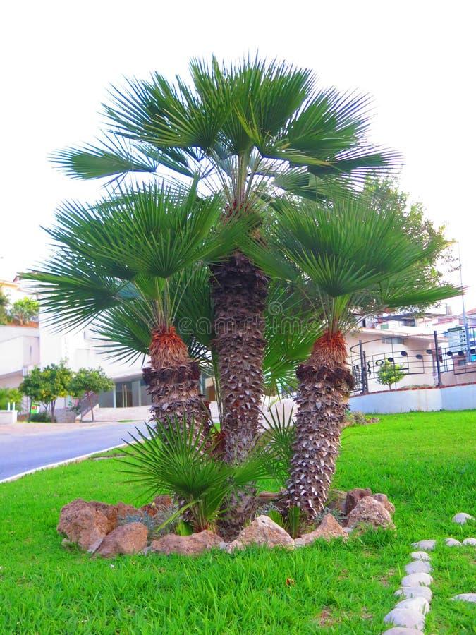 Комок 3 пальм стоковое фото