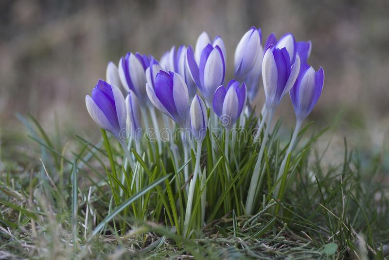 Комок фиолетового крокуса натурализовал в лужайке сада стоковые изображения