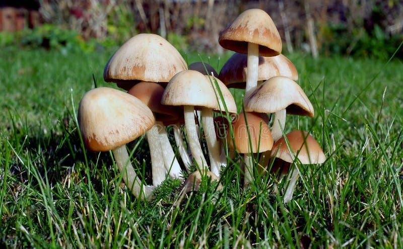 Комок toadstools на городской лужайке дома стоковое изображение