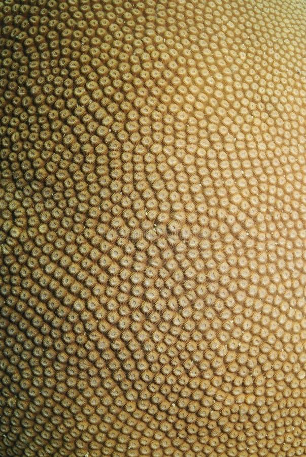 компактное heliopora diploastrea коралла стоковое фото rf