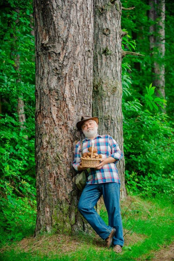 Комплектация грибов Гриб в лесе, старший человек собирая грибы в лесе стоковые фото
