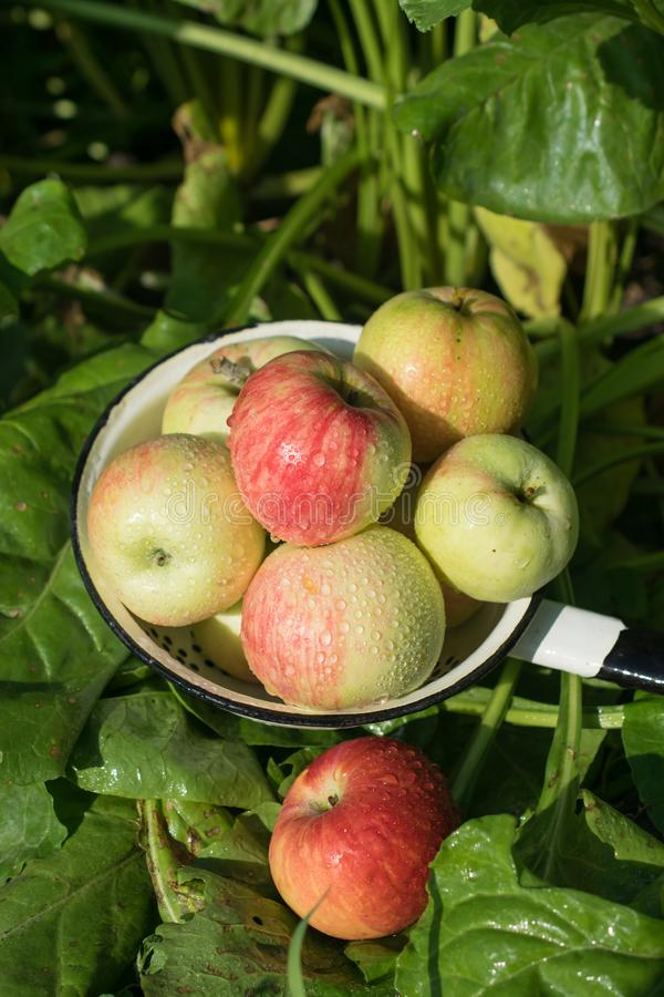 Комплектация сбора свежего и зрелого сочного яблока стоковые изображения