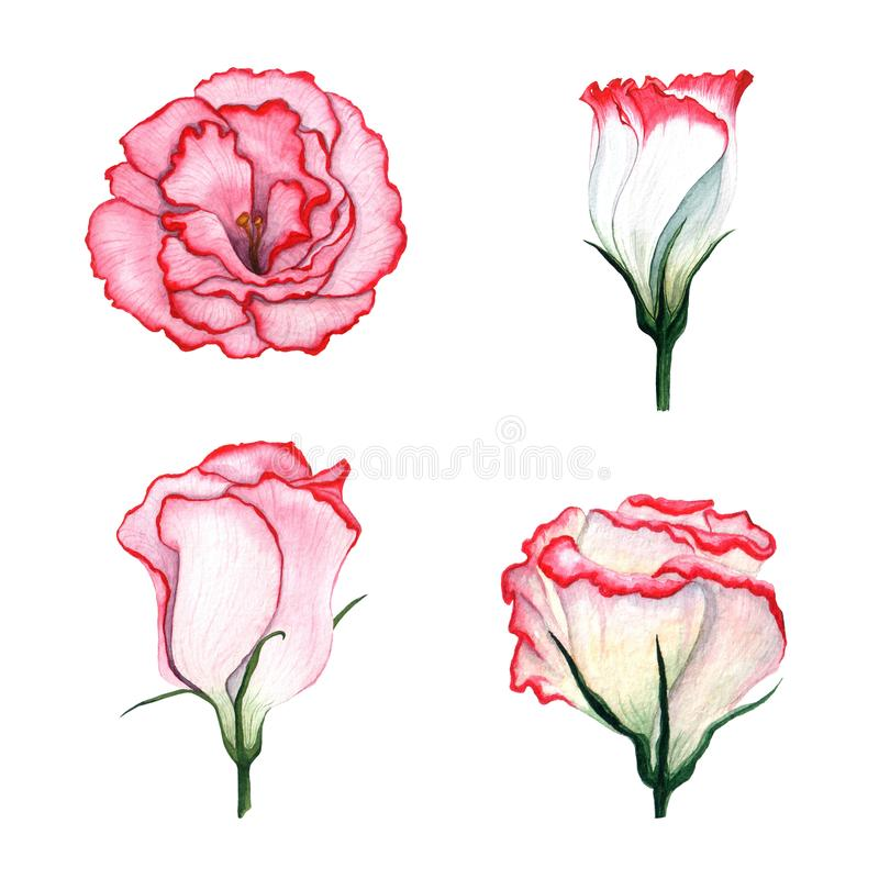 Комплект акварели Eustoma цветков бесплатная иллюстрация