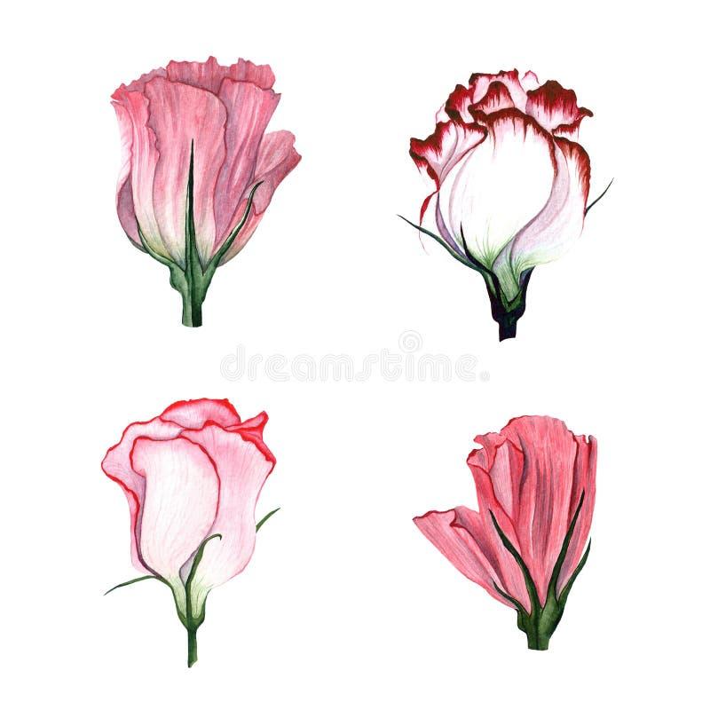 Комплект акварели Eustoma цветков иллюстрация штока