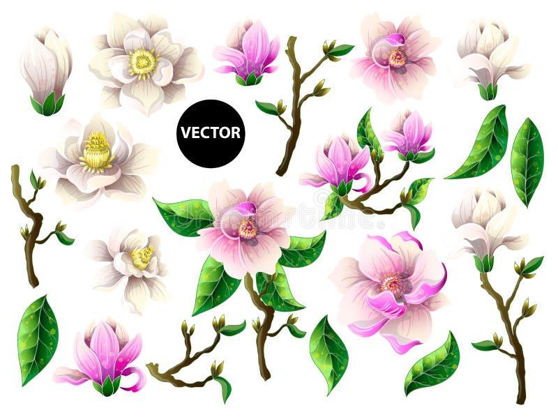 Комплект белых и розовых цветков магнолии также вектор иллюстрации притяжки corel иллюстрация штока